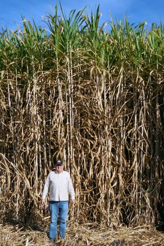 Giant King Grass at six months is typically 14-17 feet (4.3-5.2m) tall